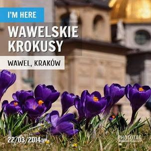 Wawelskie krokusy