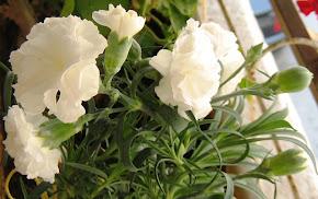 Carnation μεταδοτικης αγαπης!