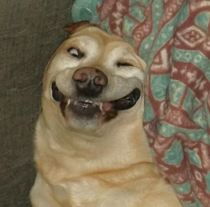 Cute Dogs: Labrador Retriever Dog Pomeranian Mix