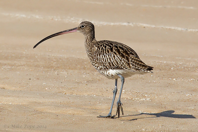 curlew latin singles They include many species called sandpipers, as well as those called by names such as curlew and snipe single parent or both parents guide and brood the chicks.