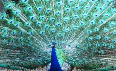 Le nuove leccornie matrimonio da pavone - Immagini pavone a colori ...