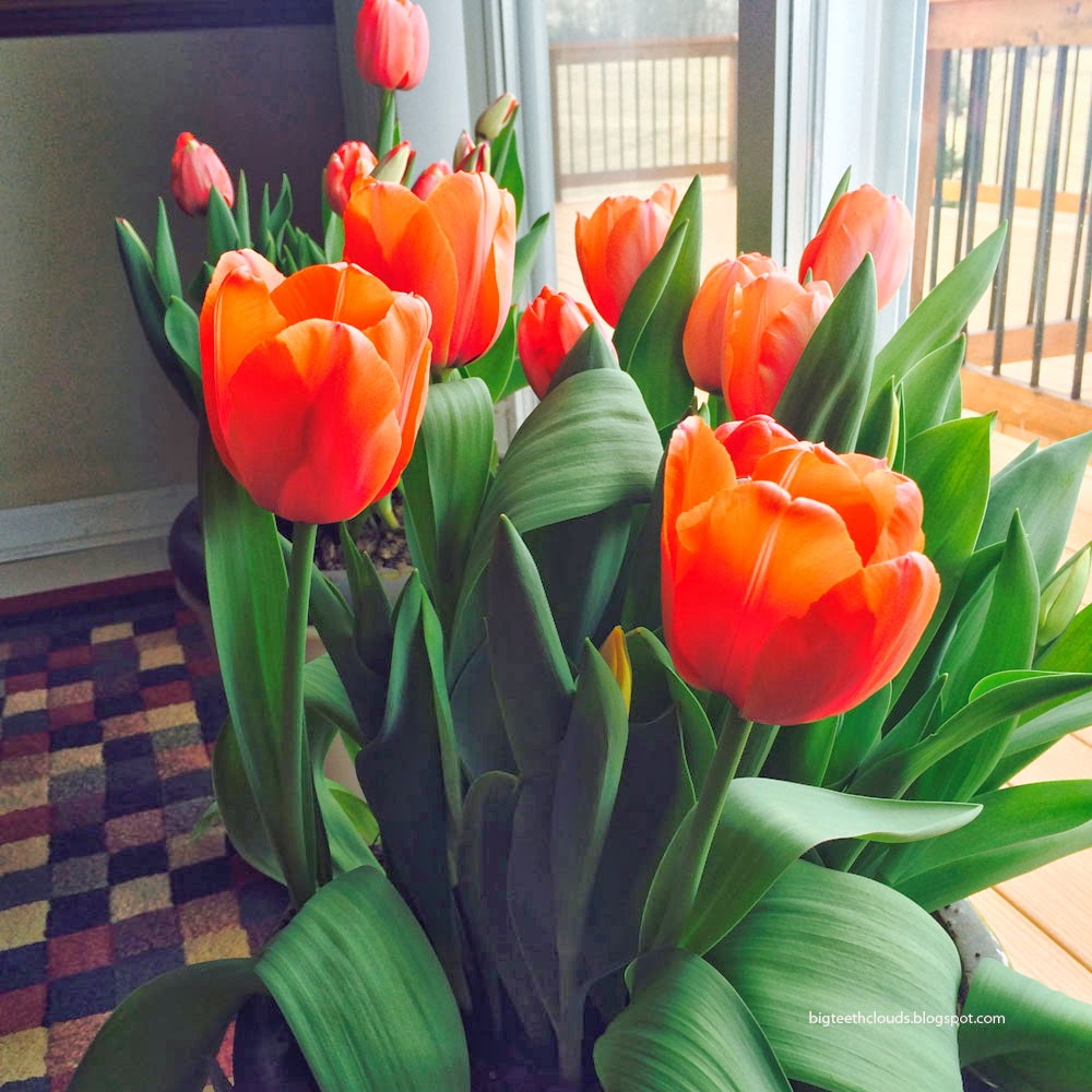 Tulips in large pots. In my house.