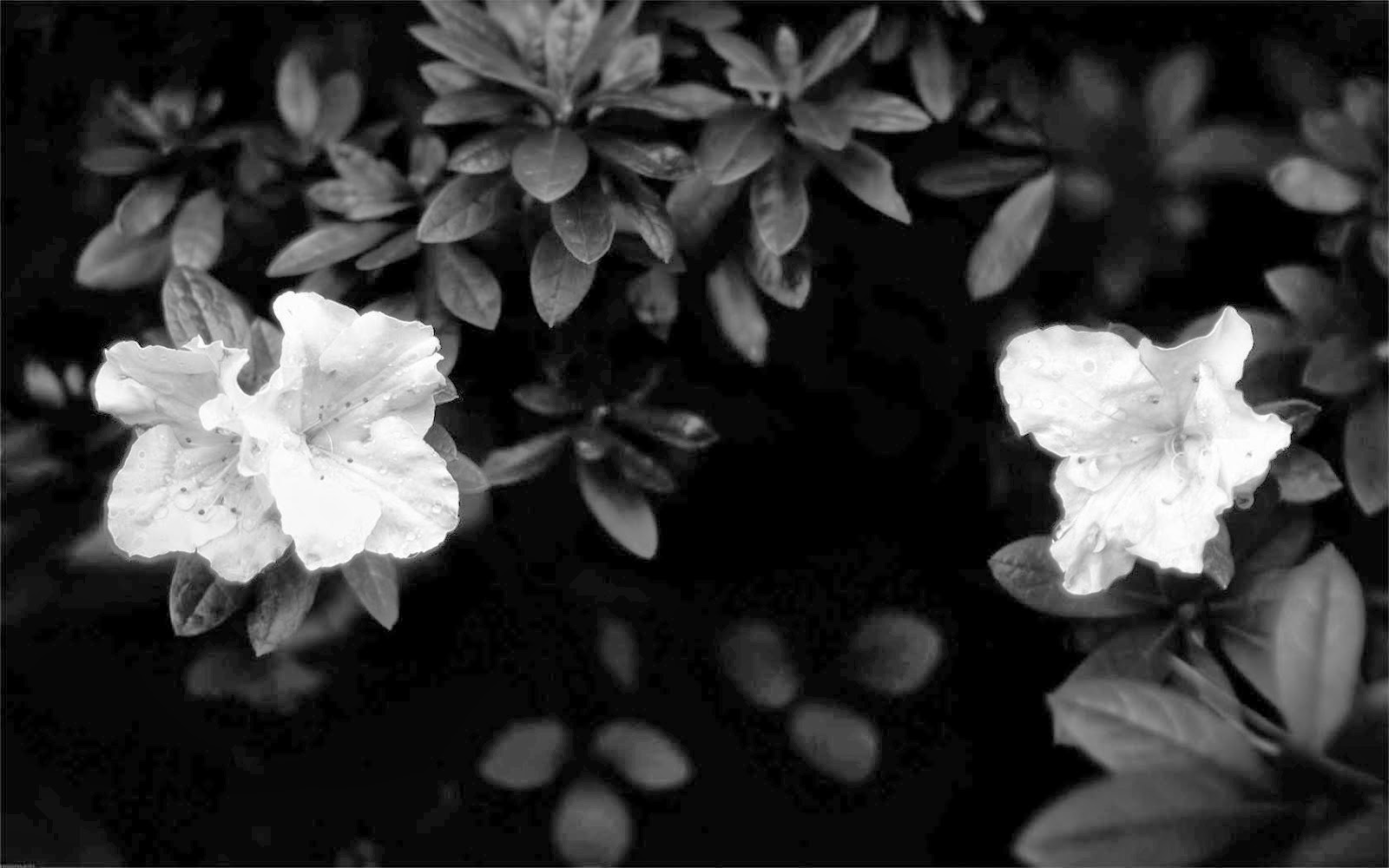 Wow flowers black and white wallpapers - Flower wallpaper black ...