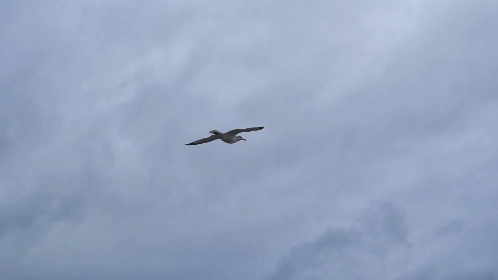 Seagull Flying Wide