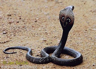 New King Cobra Snake Eating Another