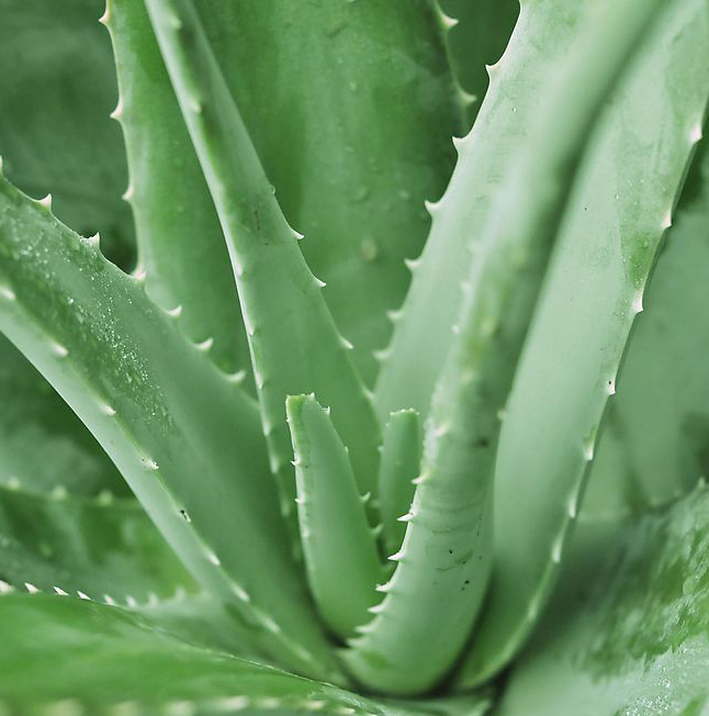 ALOE VERA NEEDS ATTENTION