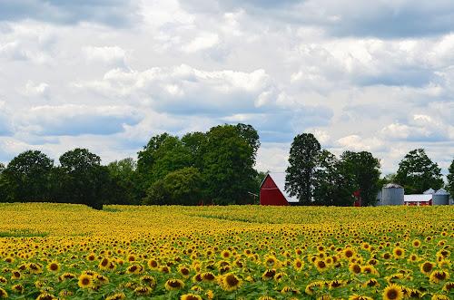 Wallpaper pemandangan bunga matahari