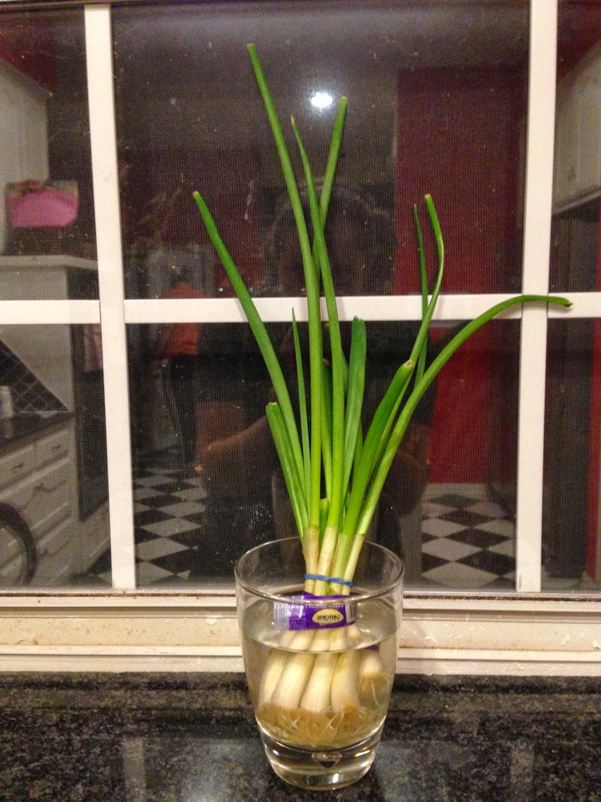 regrow green onions