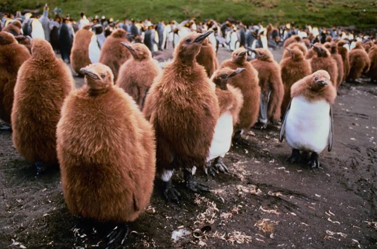 King Pinguin