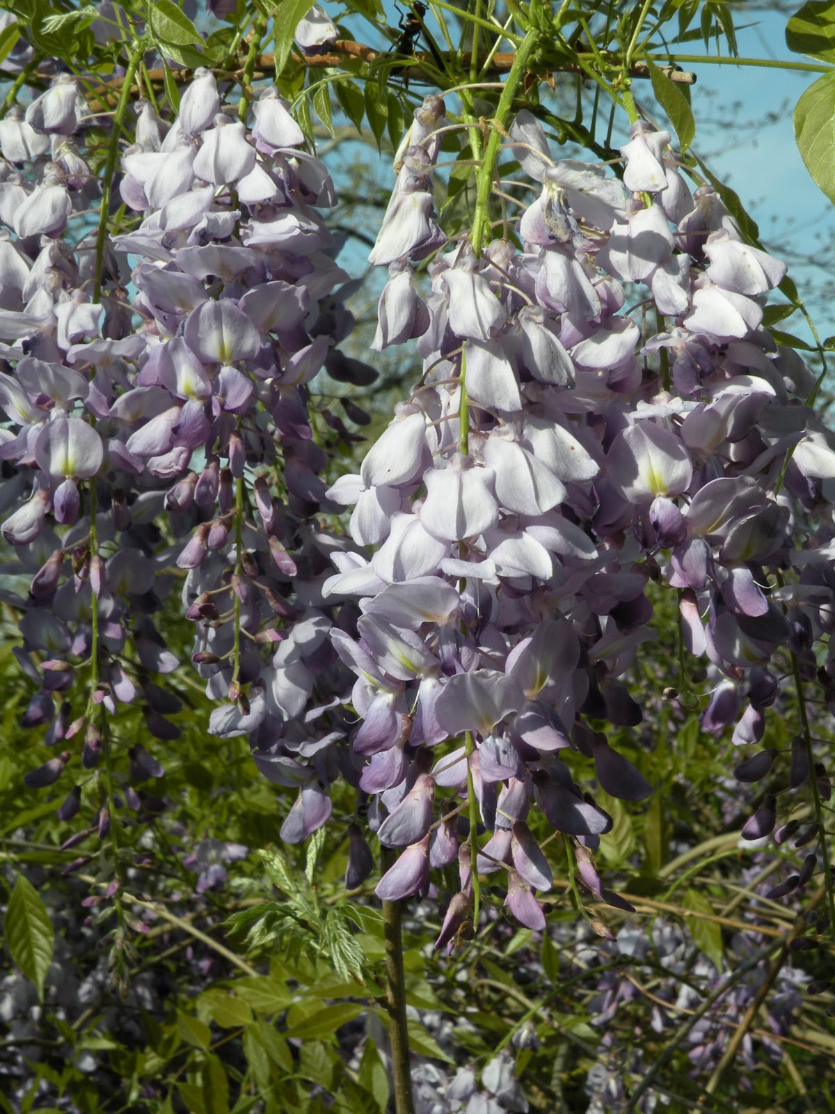 Mary 39 s louisiana garden wisteria for The wisteria