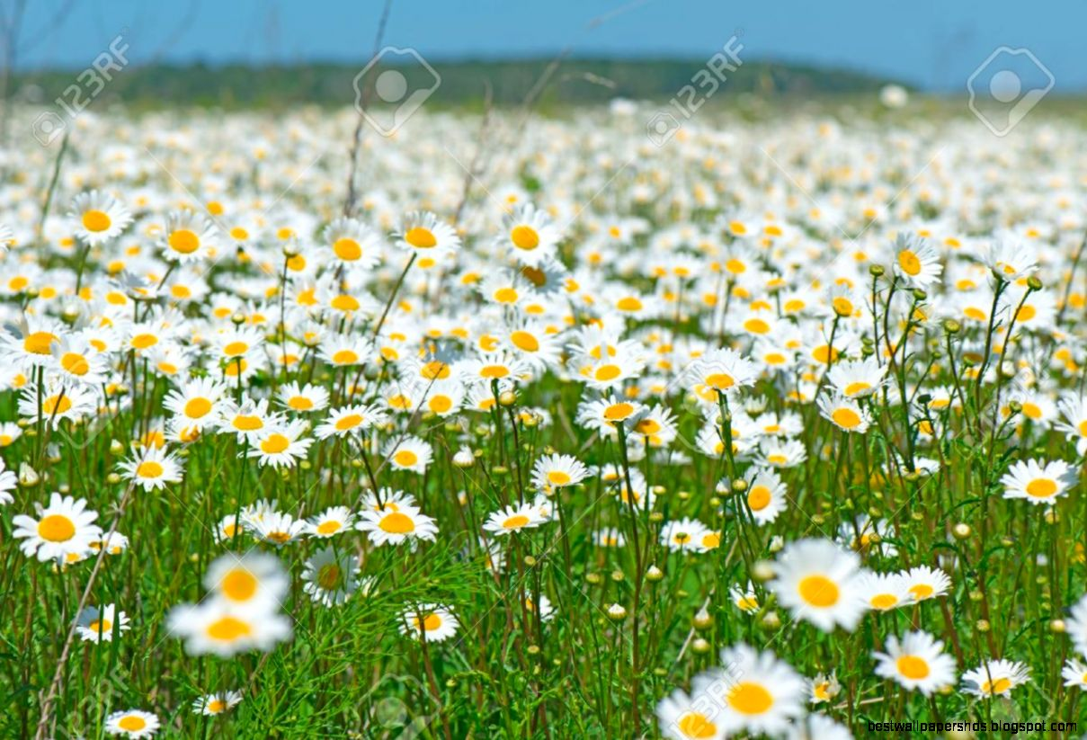 daisies field best wallpaper hd
