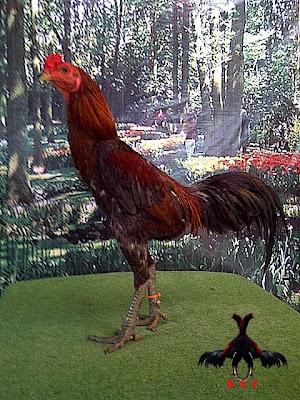 ungu farm ayam burma ayam aduan modern jika seekor ayam bangkok aduan