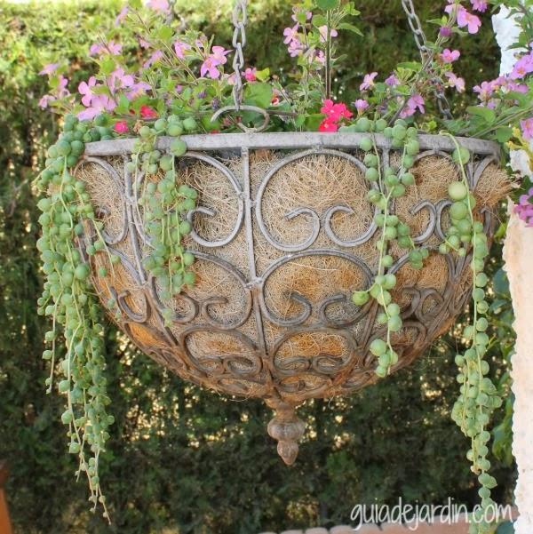 cesta con senecio rowleyanus