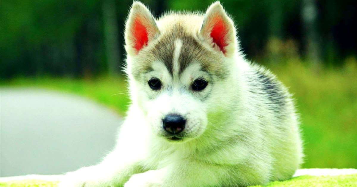 cute siberian husky puppy wallpaper wallpapers gallery