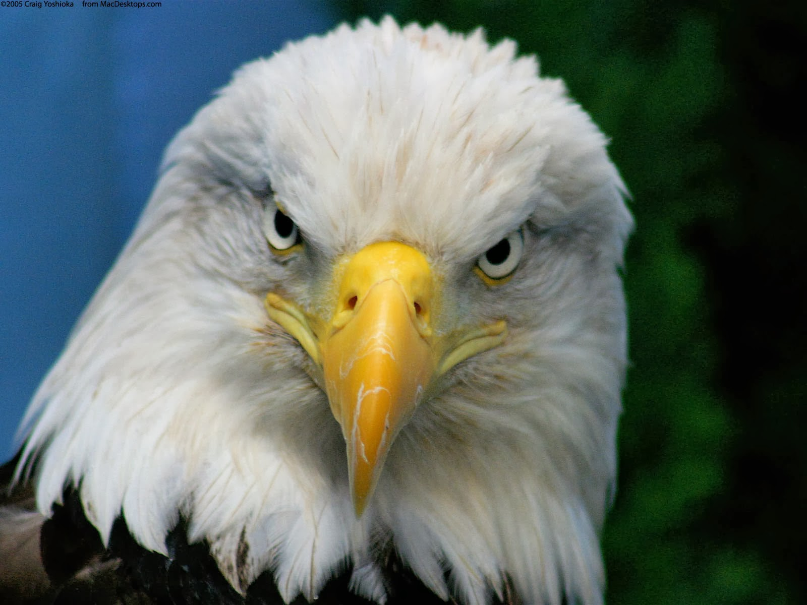 Funny bald eagle wallpapers funny wallpapers funny bald eagle wallpapers voltagebd Image collections