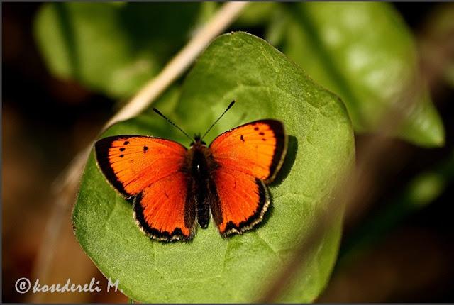 Osmanlı ateşi kelebeği erkek kanat üstü