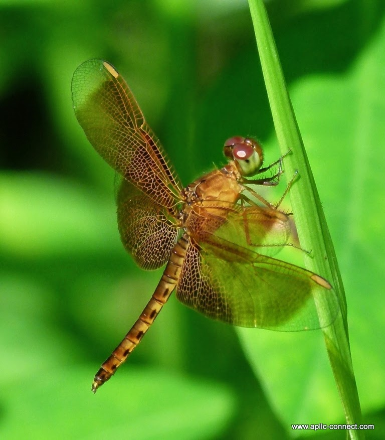 Thailand Dragonfly
