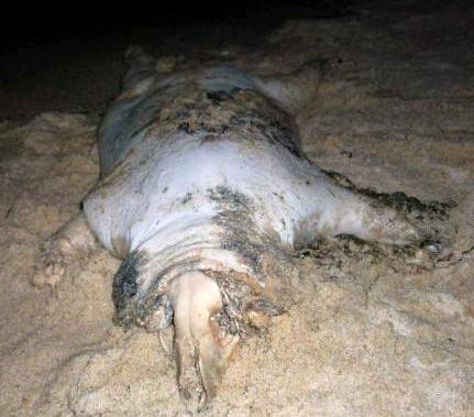 Sudut lain dari binatang aneh yang terdampar di pantai