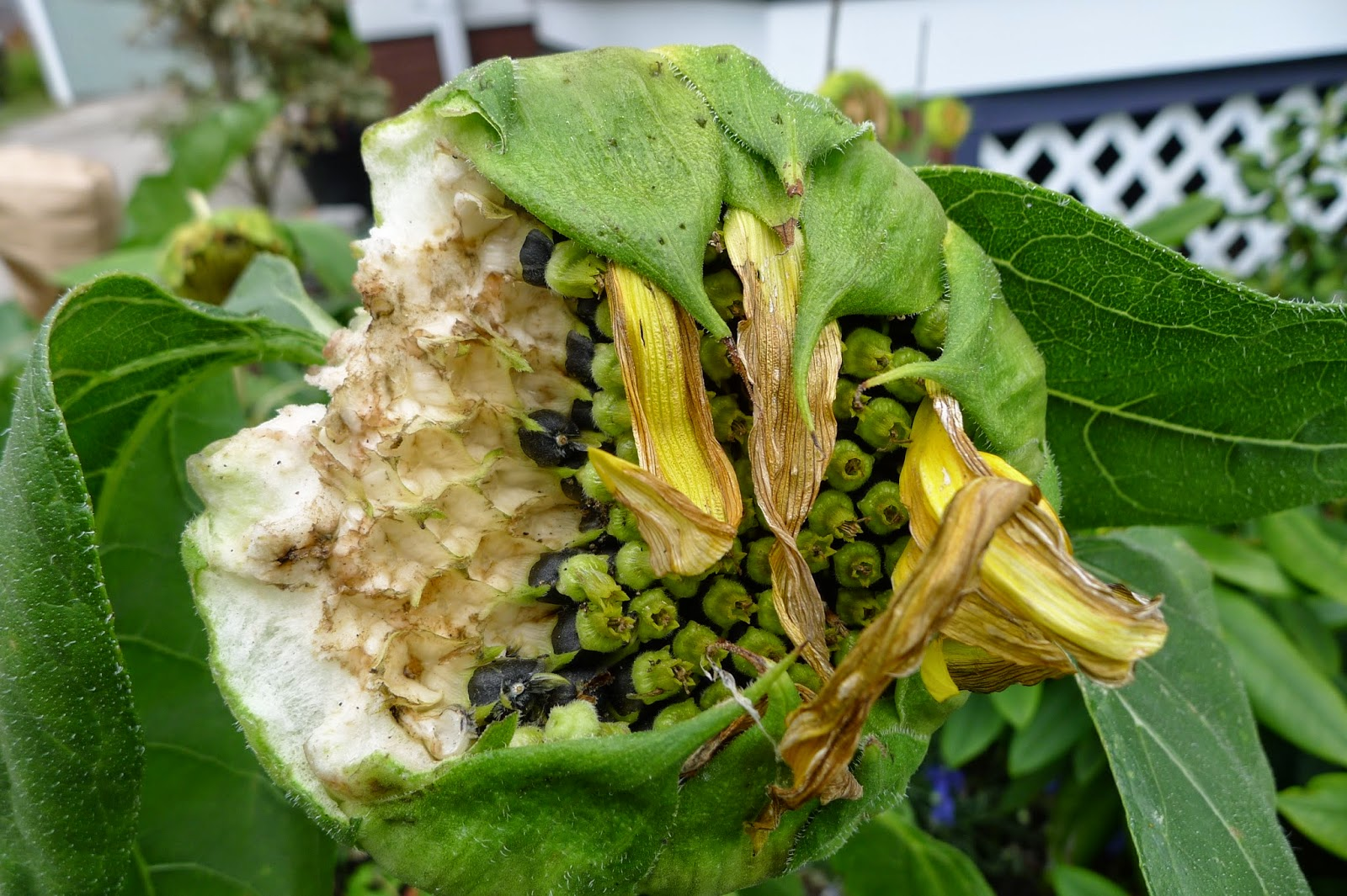 Sunseed sunflower eaten by squirrel