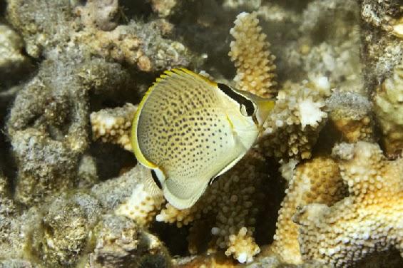 Peces y plantas ornamentales chaetodon guttatissimus for Reproduccion de peces ornamentales