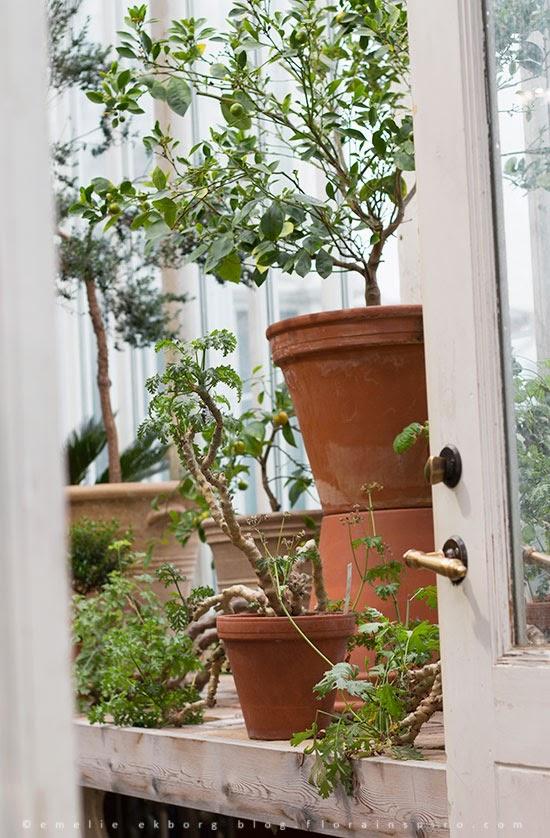 greenhouse gothenburg, trädgårdsföreningen, garden society, camelia, kamelia, botanical garden gothenburg, tropikhuset, palmhuset göteborg