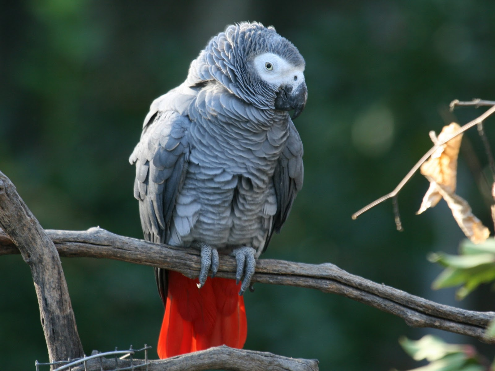 african grey parrot - photo #1