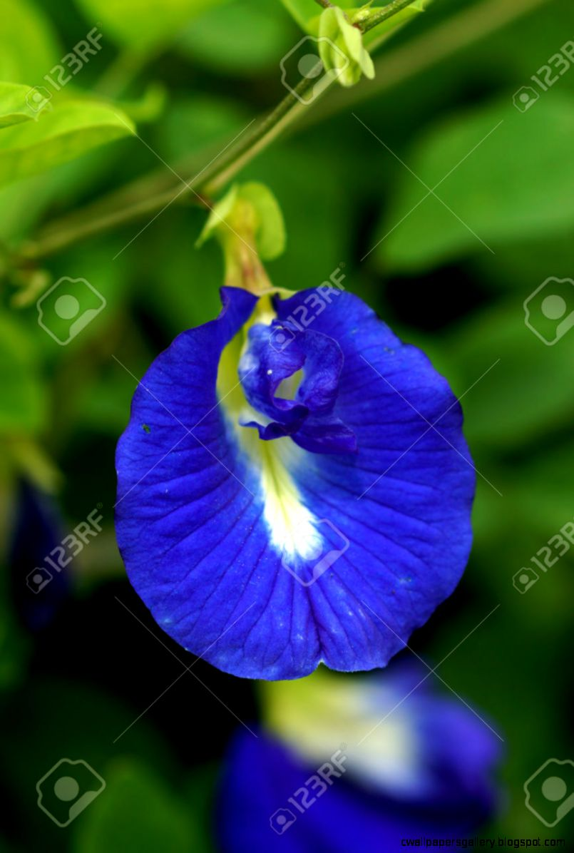 Blue Flowers Asian Pigeonwings   Scientific Name Clitoria
