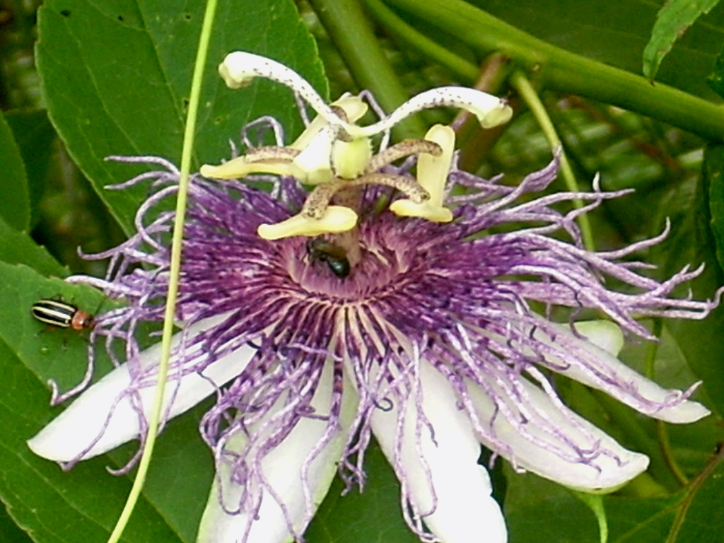 The Home Site Passion Flower A Great Vine And Groundcover