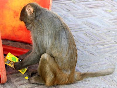 обезьяна пытается читать