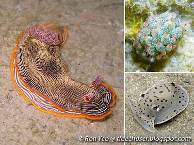 Marine Slugs (Phylum Mollusca, Class Gastropoda)