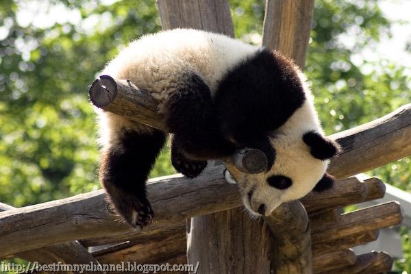 panda bears pictures 22