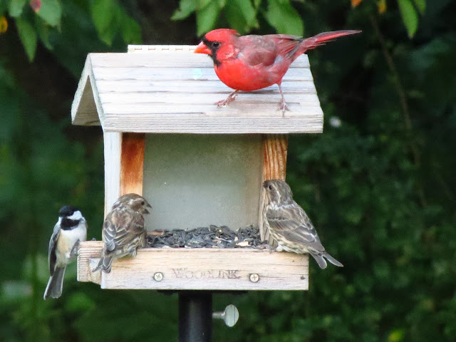 two purple finches with chickadee and cardinal