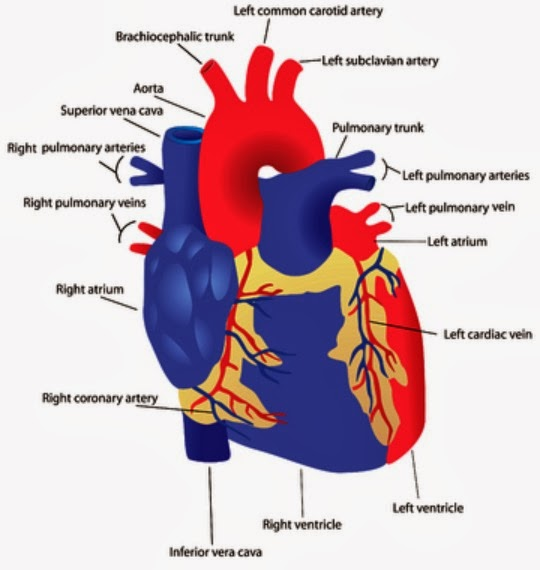 Healthy Human Heart Diagram