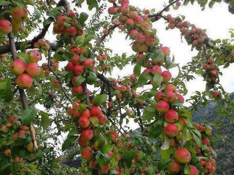 Cây táo mèo Tây Bắc