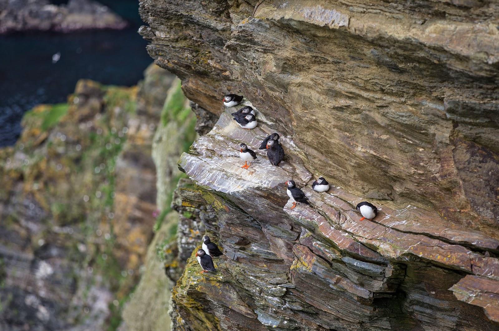 Puffins in The Shetland Islands, Scotland