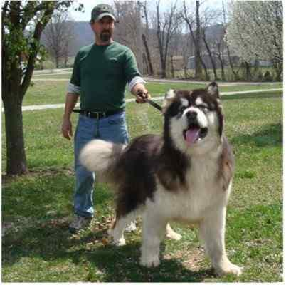 that Alaskan Malamutes can survive extremely low temperatures? Alaskan ...