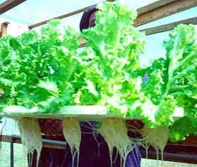 Ebook Panduan menanam sayuran Hidroponik