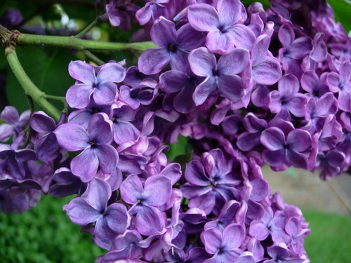 gallery for gt purple lilac flowers