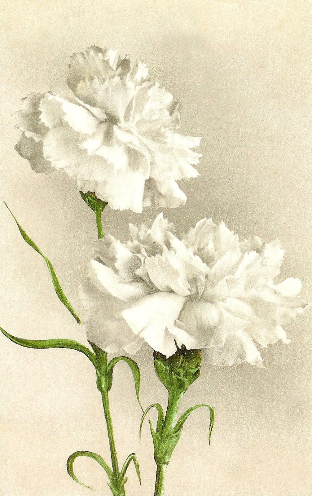 antique images vintage flower clip art white carnation