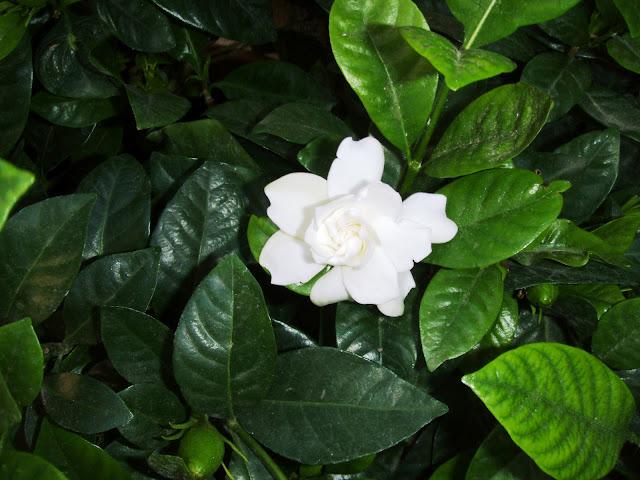 white flower gardenia