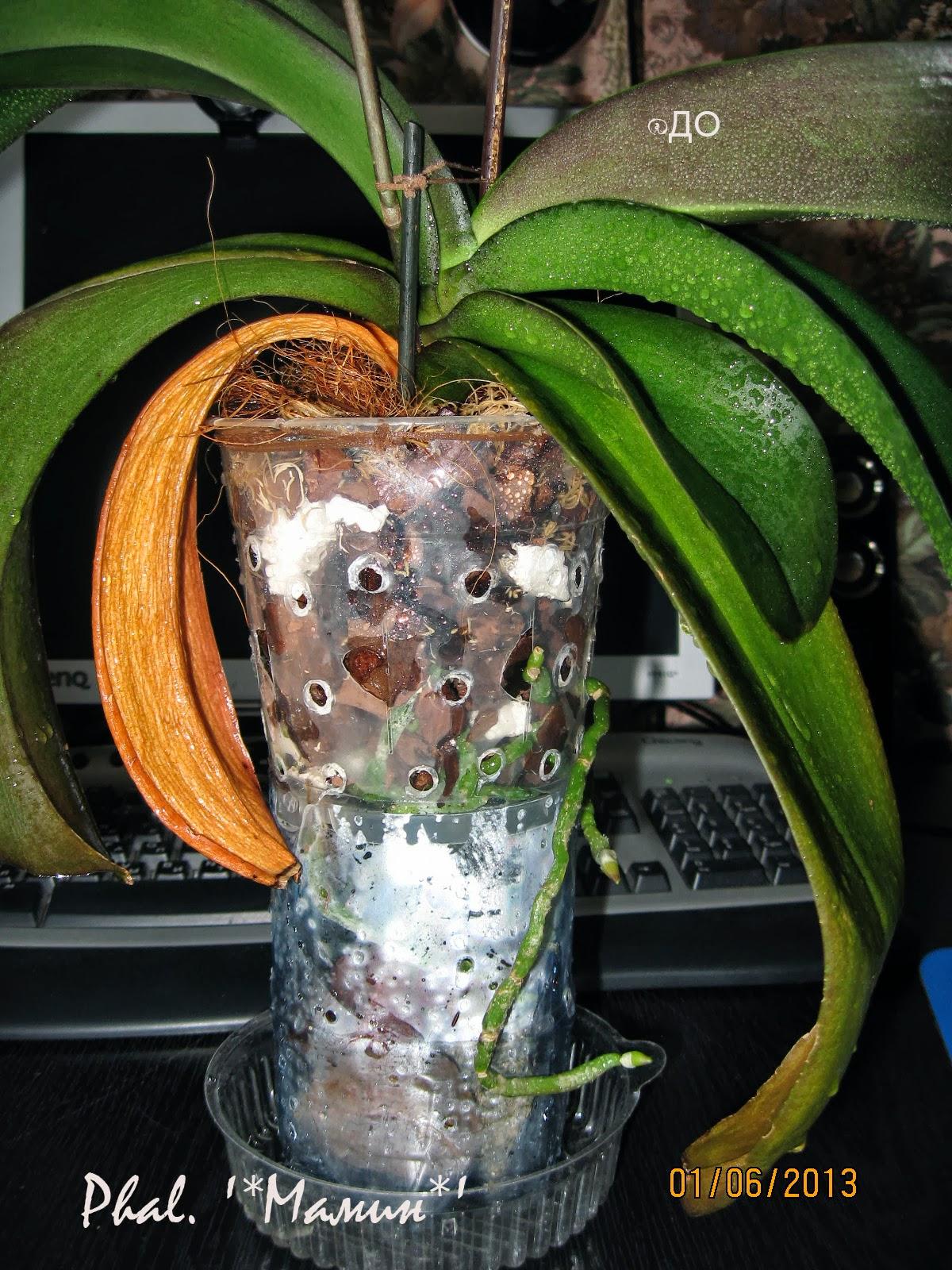 Фаленопсис после выздоровления от трахеомикоза
