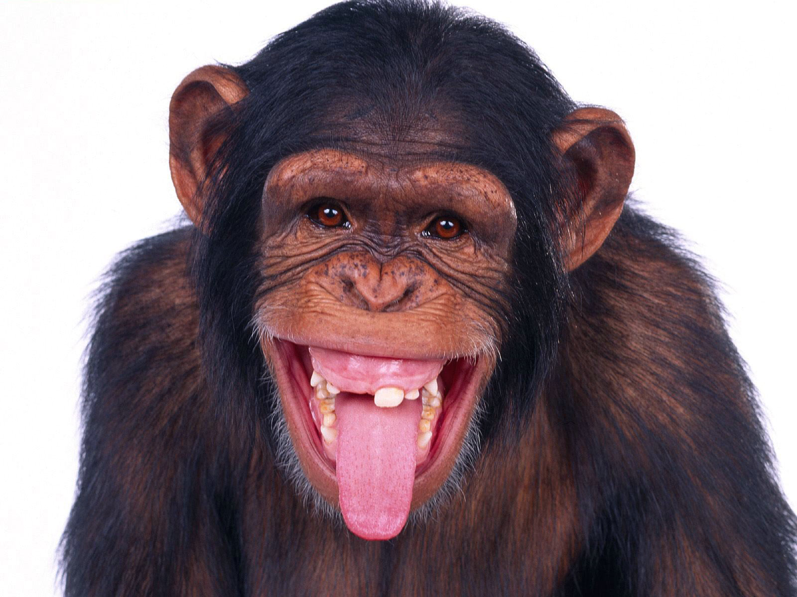 http://3.bp.blogspot.com/-TS8NYBhdSio/UBklxCdCMeI/AAAAAAAAFY0/gaAvfAocMoc/s1600/Chimpanzees+wallpapers+3.jpg