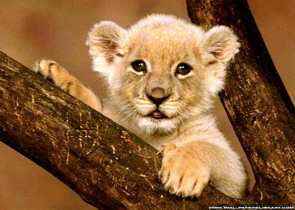 Cute Baby Lion Wallpaper HD Wallpaper  Animals Wallpapers