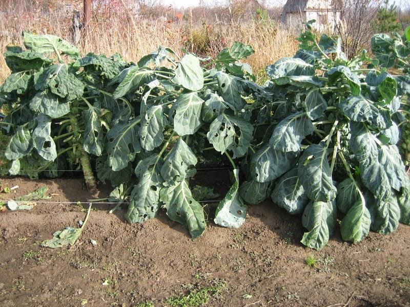 Выращивание и уход за брюссельской капустой в открытом грунте 607