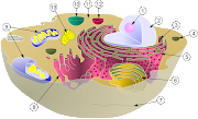 Schematic of typical animal cell, showing subcellular components.