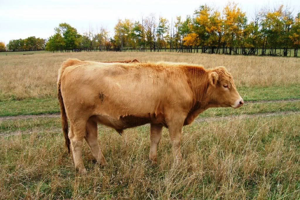 Red Charolais steer
