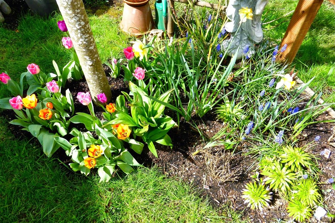 spring garden, garden, bulbs, garden bulbs, tulips, muscari, crocus