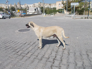"""A mixed breed """"Anatolian Shepherd"""" bitch."""