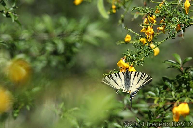 papillon flambé macro forêt Fontainebleau Seine-et-Marne