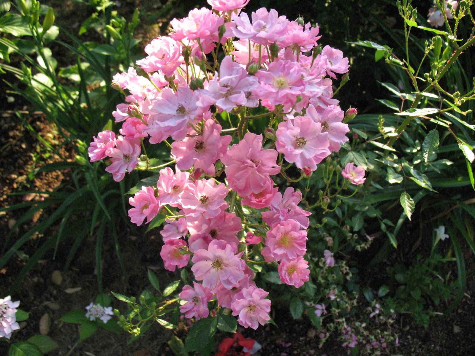 Roses du jardin ch neland rosier yesterday - Deplacer un rosier ...